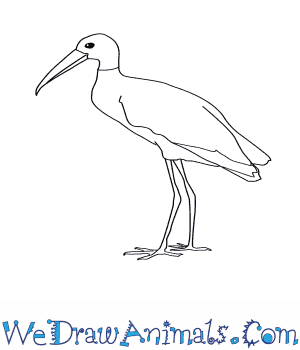 How to Draw a Wood Stork in 7 Easy Steps