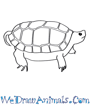How to Draw a Wood Turtle in 7 Easy Steps