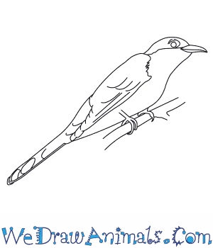 How to Draw a Yellow Billed Cuckoo in 6 Easy Steps