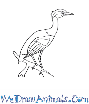 How to Draw a Yellow Crowned Night Heron in 7 Easy Steps