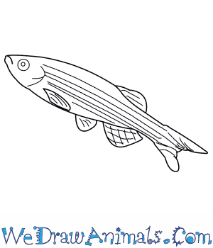 How to Draw a Zebra Danio in 7 Easy Steps