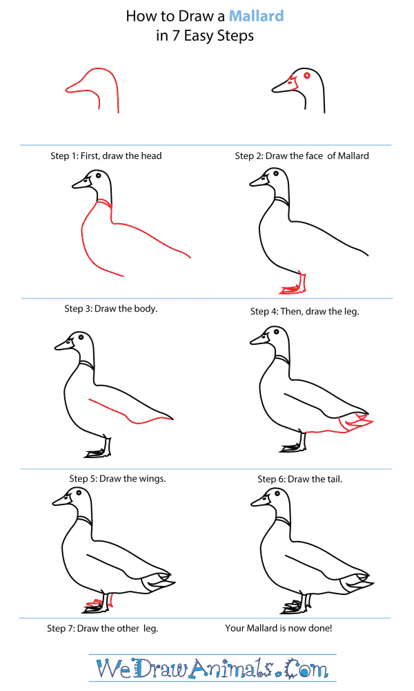 How To Draw A Mallard - Step-By-Step Tutorial