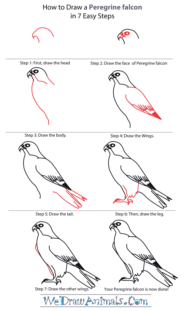 How To Draw A Peregrine Falcon - Step-By-Step Tutorial