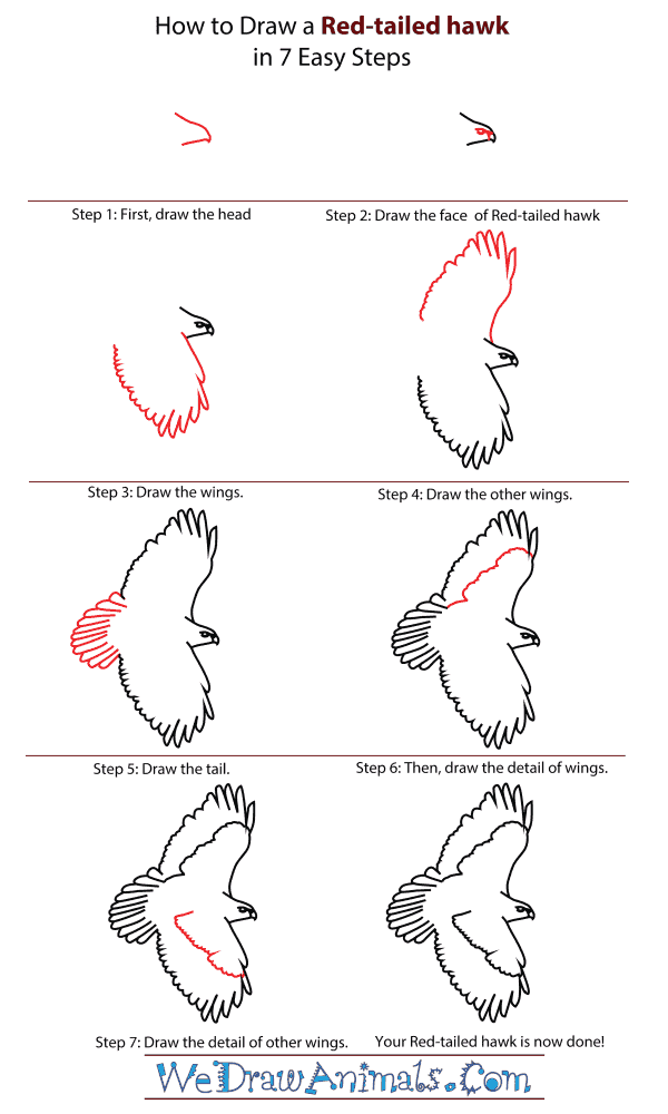 How To Draw A Red Tailed Hawk - Step-By-Step Tutorial