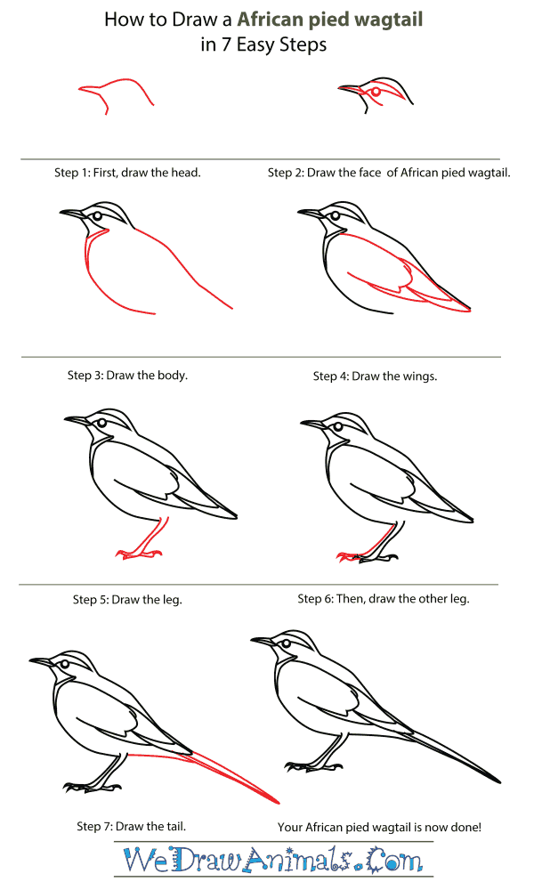 How To Draw An African pied wagtail - Step-By-Step Tutorial