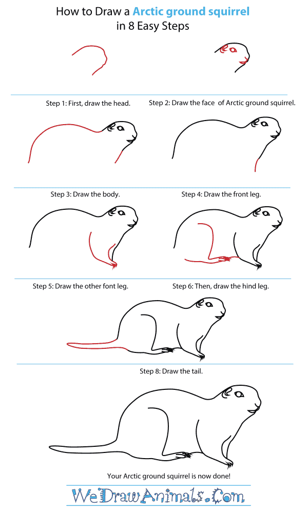 How To Draw An Arctic ground squirrel - Step-By-Step Tutorial