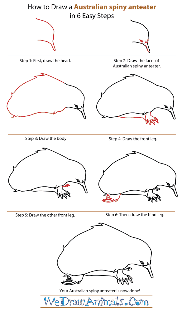 How To Draw An Australian spiny anteater - Step-By-Step Tutorial