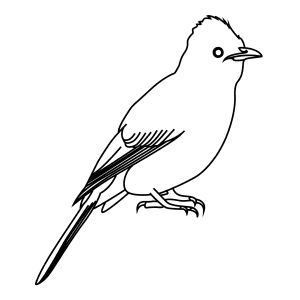How To Draw A Black Eyed Bulbul - Step-By-Step Tutorial