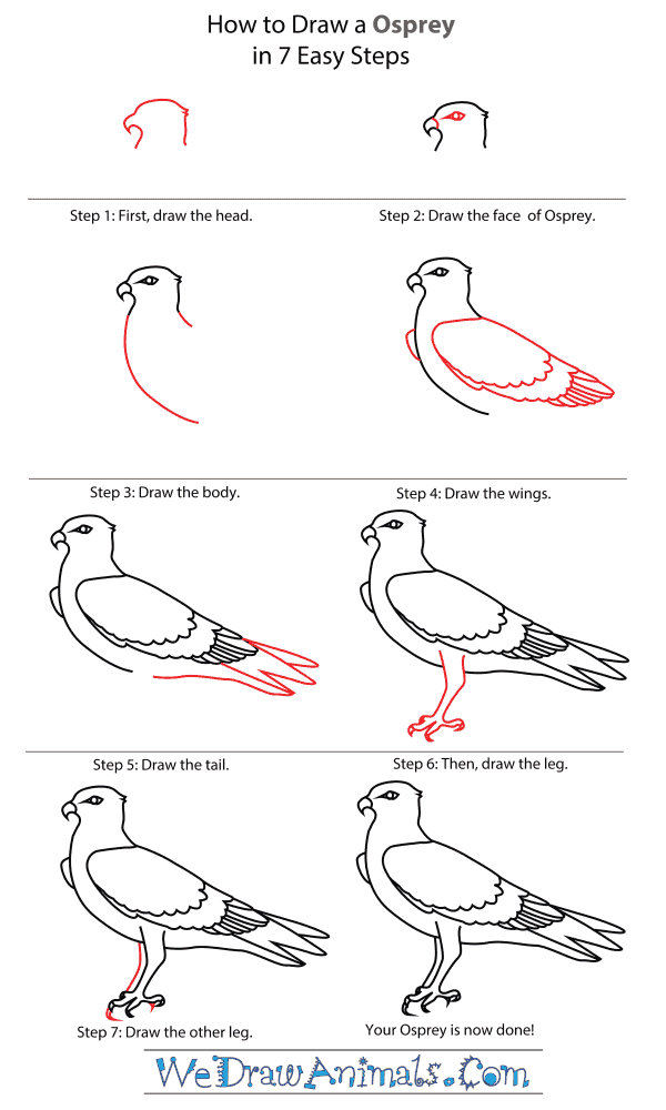 How To Draw An Osprey - Step-By-Step Tutorial