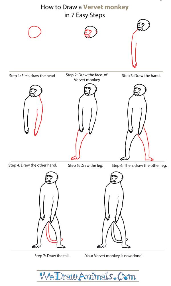 How To Draw A Vervet monkey - Step-By-Step Tutorial