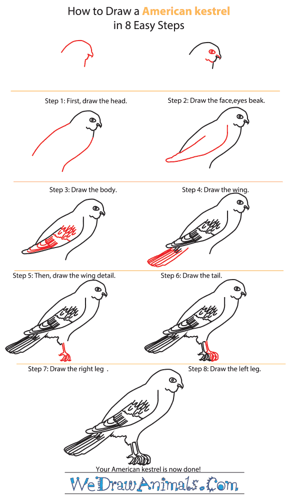 How to Draw an American Kestrel - Step-by-Step Tutorial