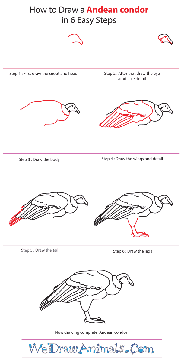 How to Draw an Andean Condor - Step-by-Step Tutorial