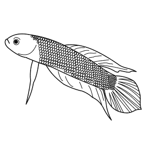 How To Draw a Betta - Step-By-Step Tutorial