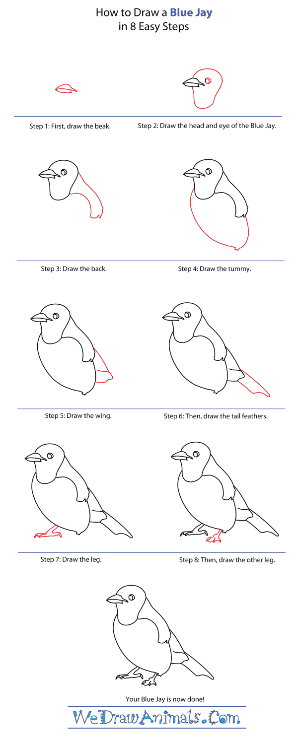 How to Draw a Blue Jay - Step-By-Step Tutorial