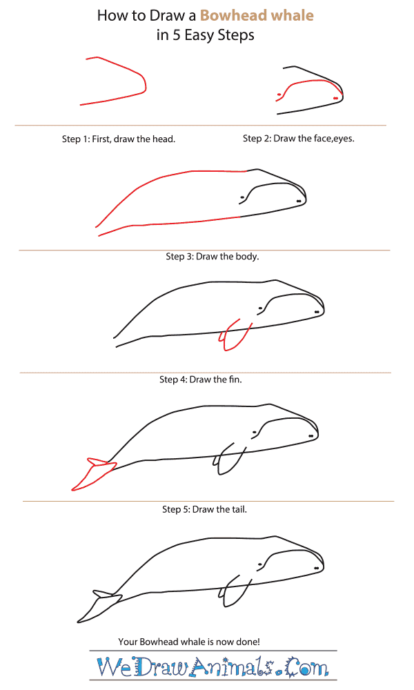 How to Draw a Bowhead Whale - Step-By-Step Tutorial