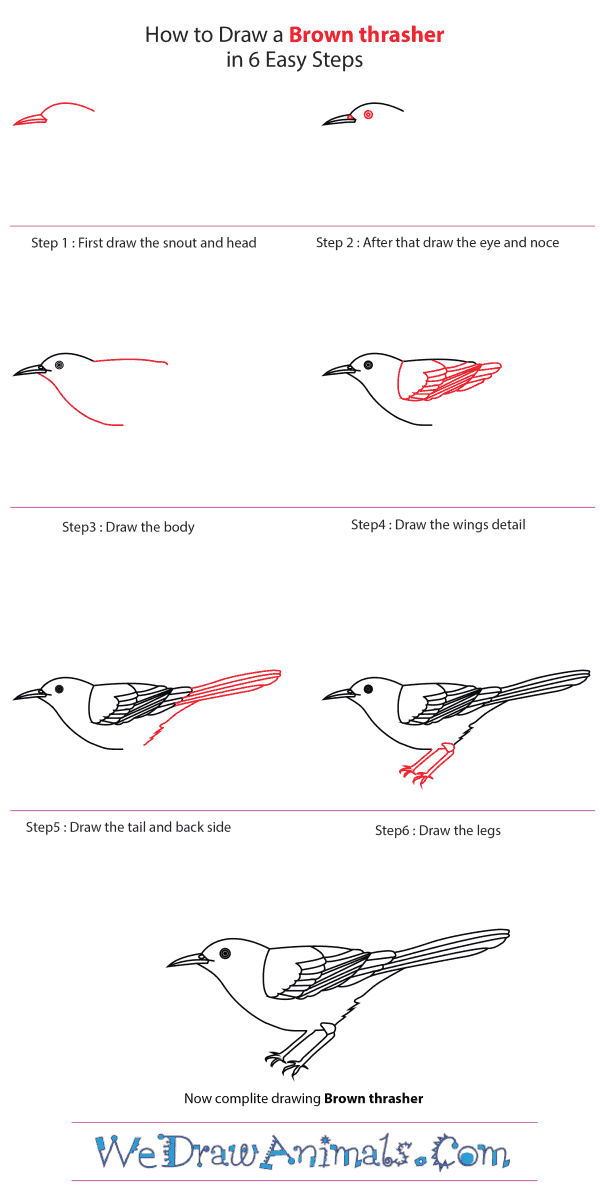 How to Draw a Brown Thrasher - Step-by-Step Tutorial