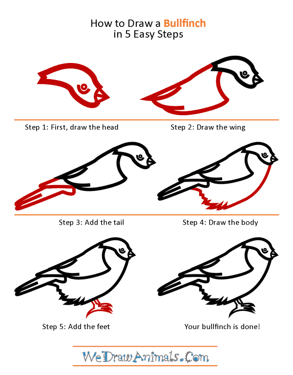 How to Draw a Bullfinch - Step-by-Step Tutorial
