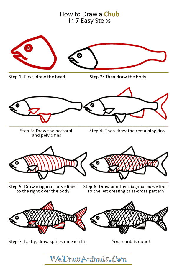 How to Draw a Chub - Step-by-Step Tutorial