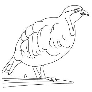 How To Draw a Chukar - Step-By-Step Tutorial