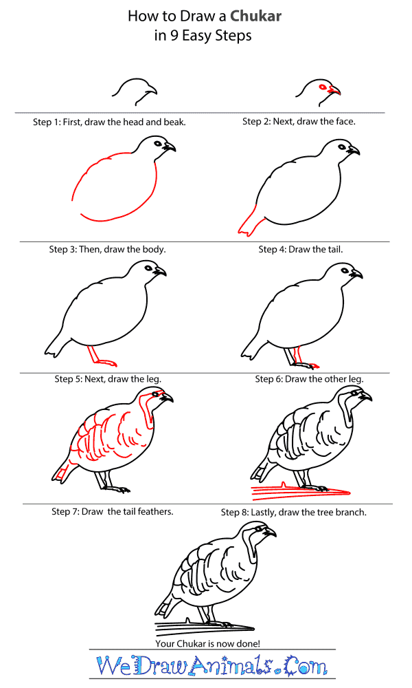How to Draw a Chukar - Step-by-Step Tutorial