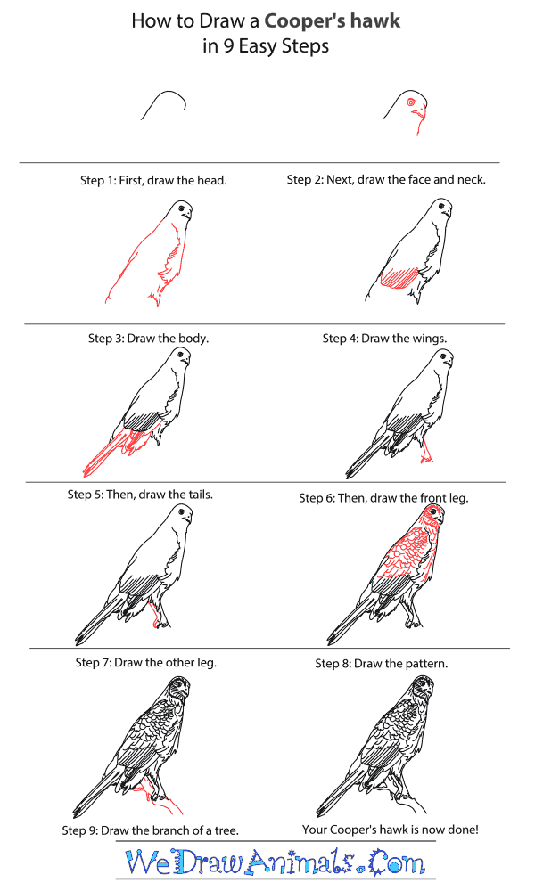 How to Draw a Cooper's Hawk - Step-By-Step Tutorial