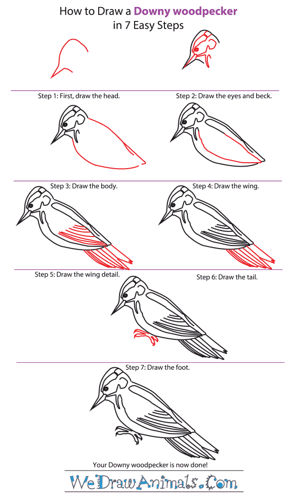 How to Draw a Downy Woodpecker - Step-by-Step Tutorial