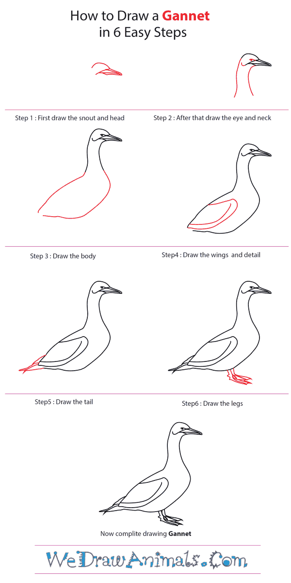 How to Draw a Gannet - Step-by-Step Tutorial