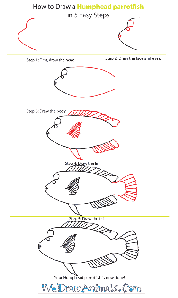How to Draw a Humphead Parrotfish - Step-by-Step Tutorial