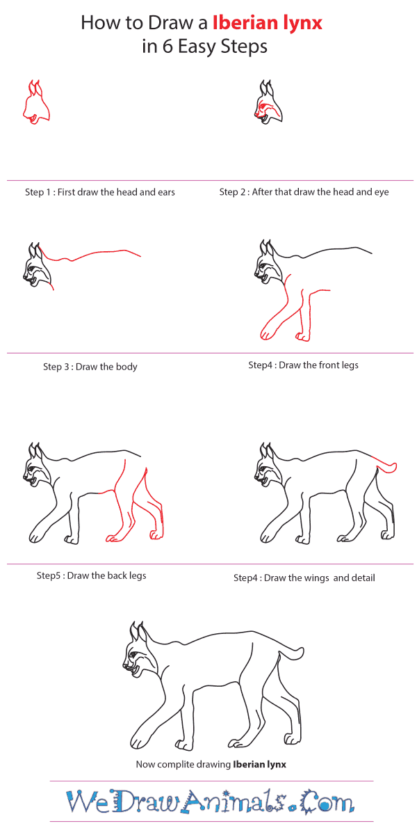 How to Draw an Iberian Lynx - Step-by-Step Tutorial