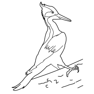 How To Draw an Ivory-Billed Woodpecker - Step-By-Step Tutorial