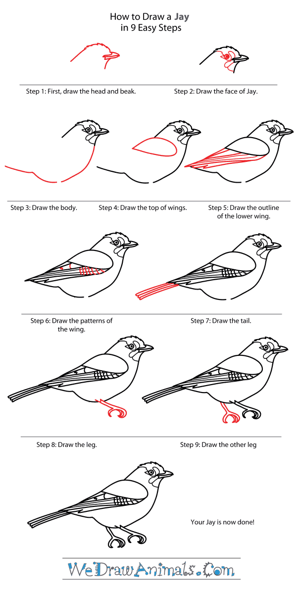 How to Draw a Jay - Step-By-Step Tutorial