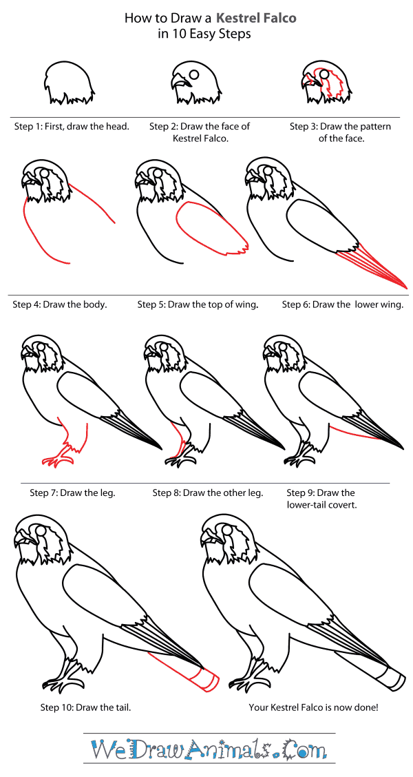 How to Draw a Kestrel - Step-By-Step Tutorial