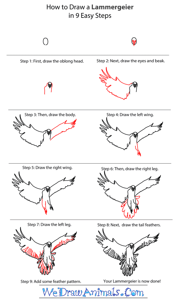 How to Draw a Lammergeier - Step-By-Step Tutorial