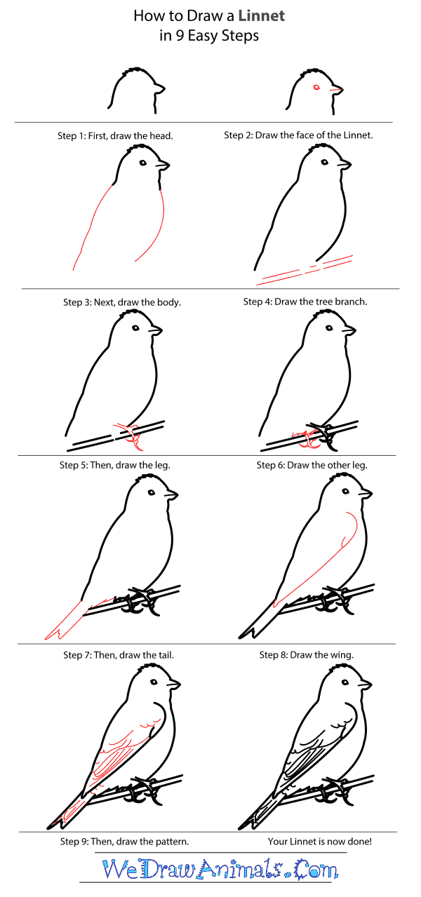 How to Draw a Linnet - Step-by-Step Tutorial