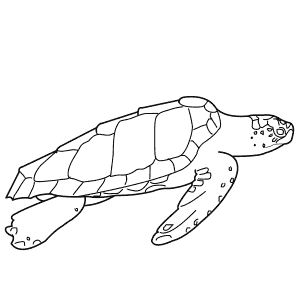 How To Draw a Loggerhead Turtle - Step-By-Step Tutorial
