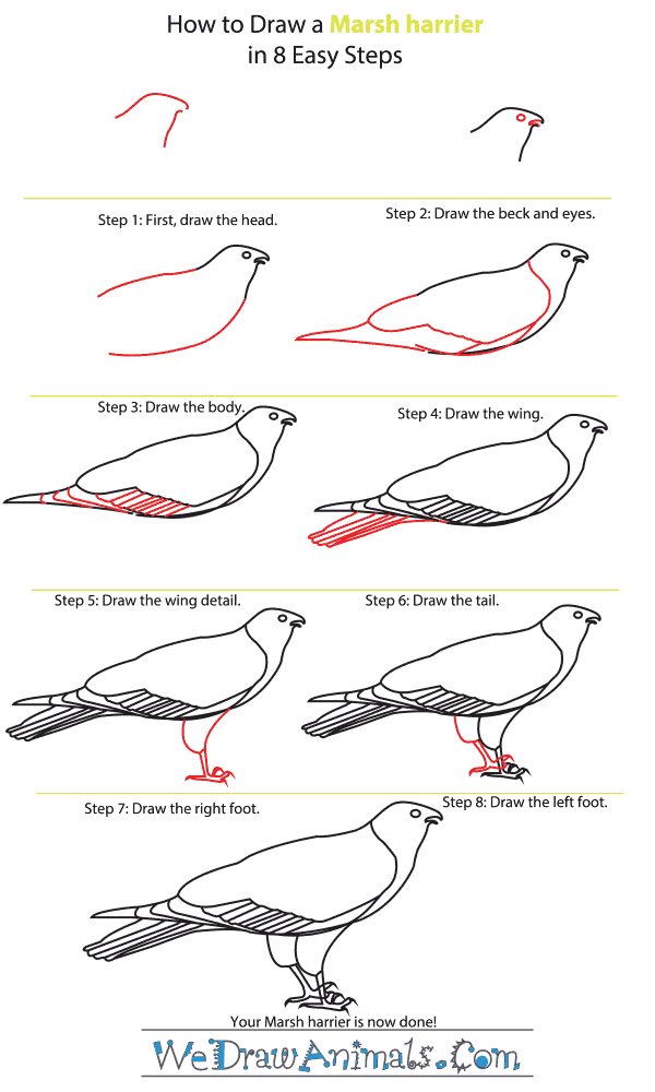 how to draw a marsh harrier step by step tutorial