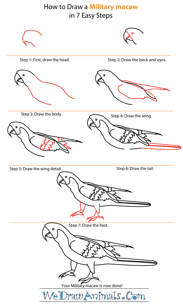 How to Draw a Military Macaw - Step-by-Step Tutorial