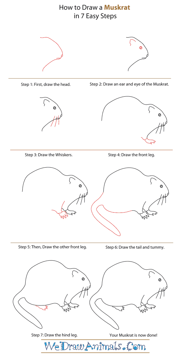 How to Draw a Muskrat - Step-By-Step Tutorial