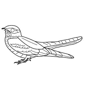 How To Draw a Nightjar - Step-By-Step Tutorial