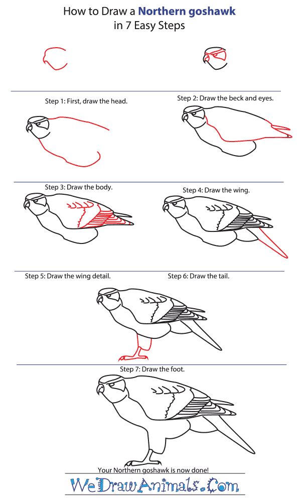 How to Draw a Northern Goshawk - Step-by-Step Tutorial