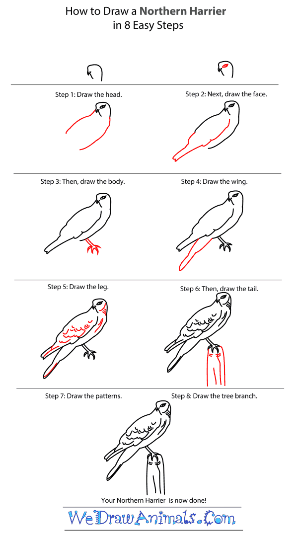 How to Draw a Northern Harrier - Step-by-Step Tutorial