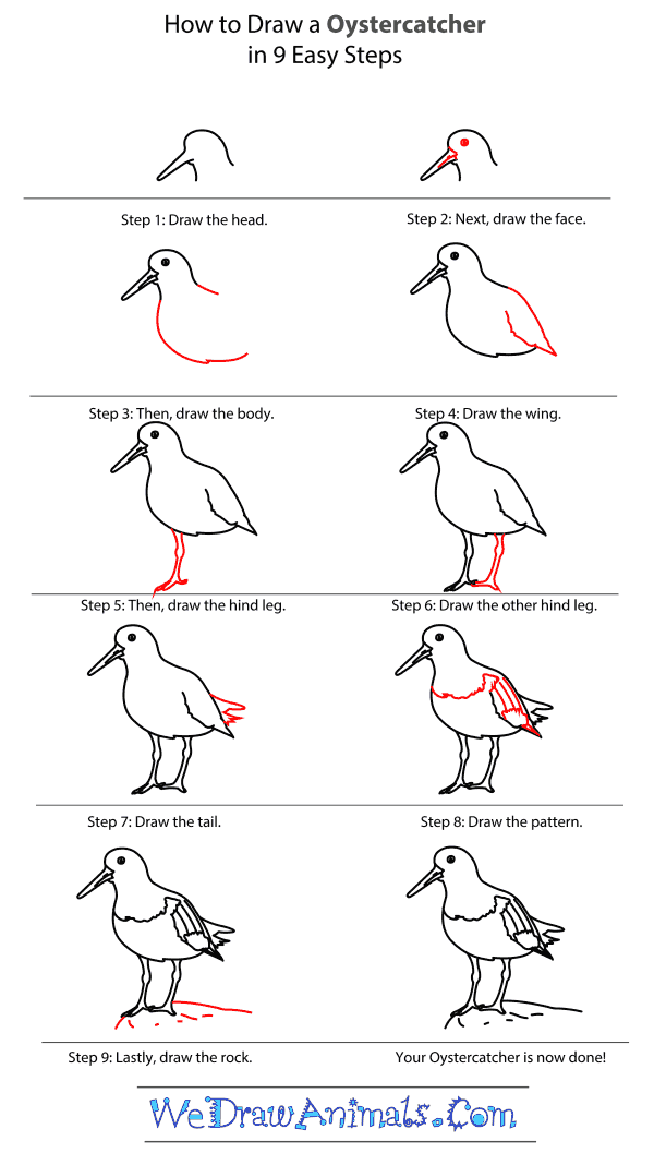 How to Draw an Oystercatcher - Step-by-Step Tutorial