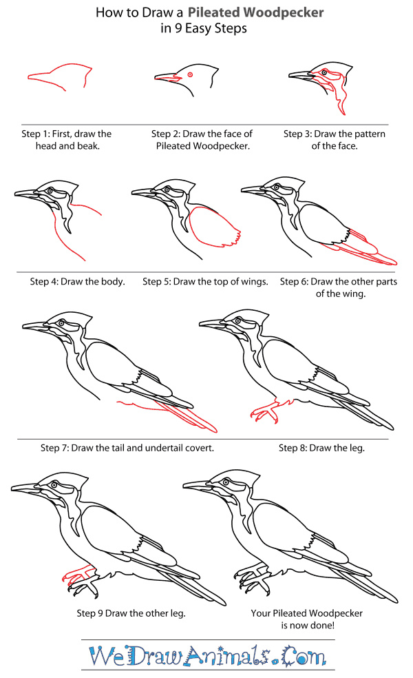 How to Draw a Pileated Woodpecker - Step-By-Step Tutorial