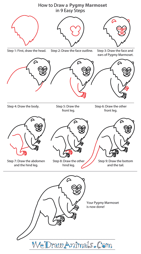 How to Draw a Pygmy Marmoset - Step-By-Step Tutorial