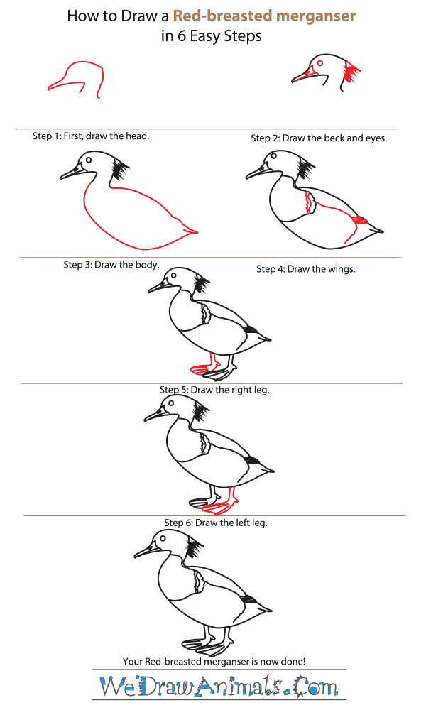 How to Draw a Red-Breasted Merganser - Step-by-Step Tutorial