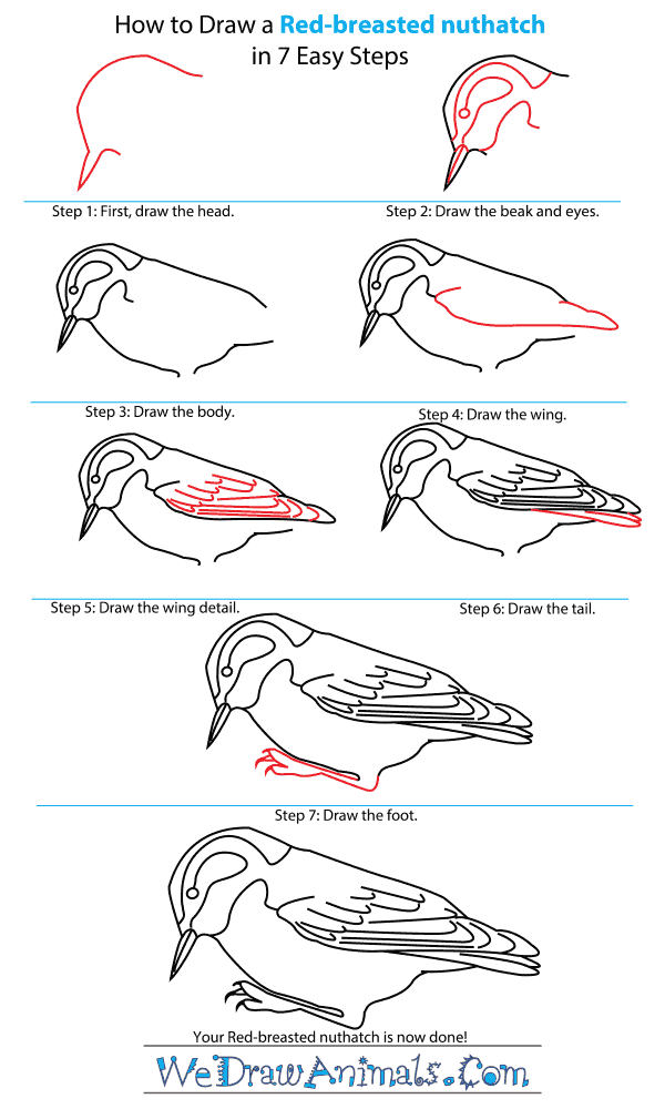 How to Draw a Red-Breasted Nuthatch - Step-by-Step Tutorial