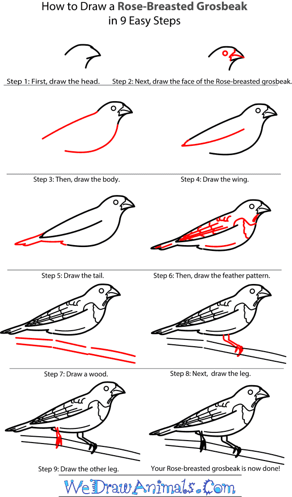 How to Draw a Rose-Breasted Grosbeak - Step-by-Step Tutorial