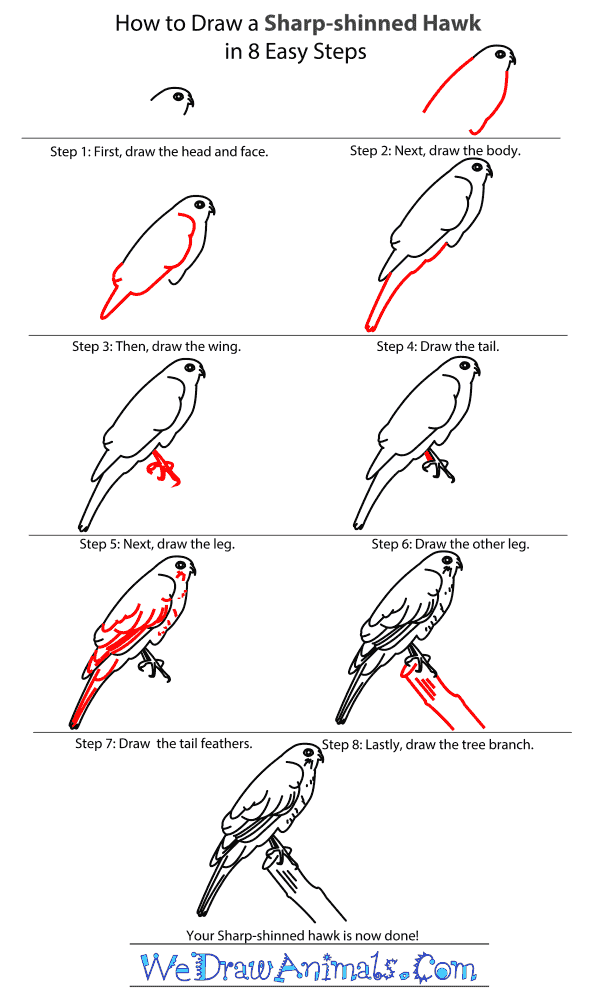 How to Draw a Sharp-Shinned Hawk - Step-by-Step Tutorial
