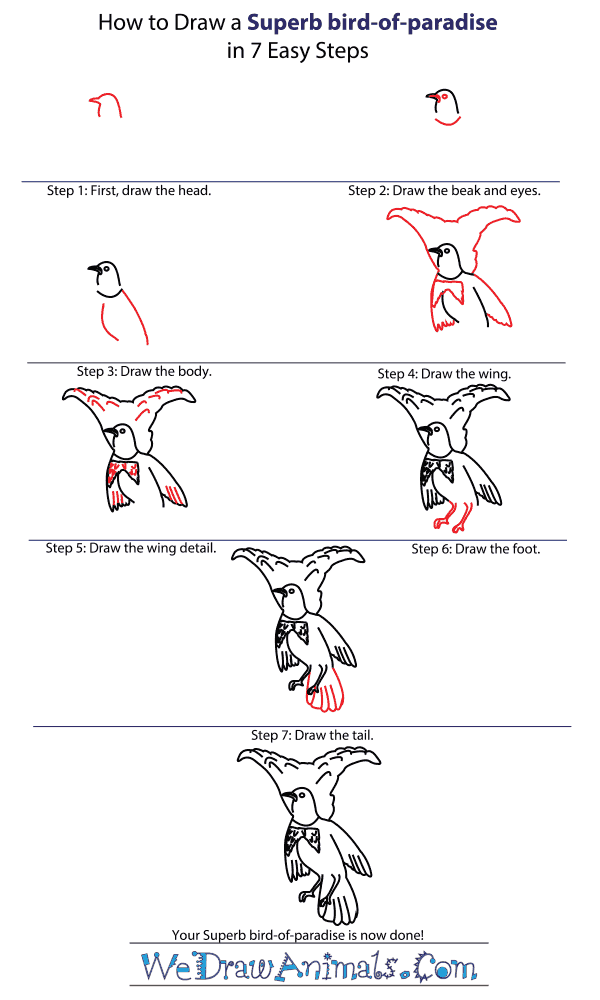 How to Draw a Superb Bird-Of-Paradise - Step-by-Step Tutorial