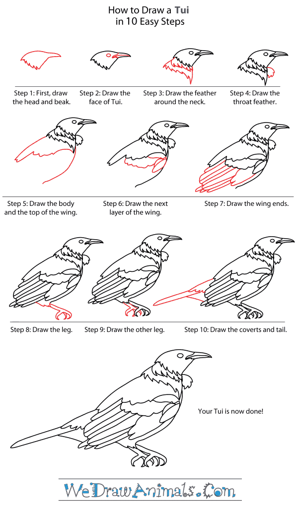 How to Draw a Tui - Step-By-Step Tutorial